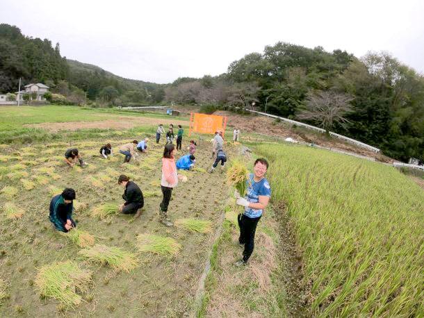 稲を収穫する参加者の皆さん