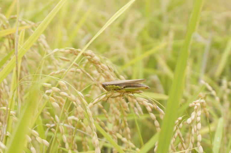 黄金色の稲