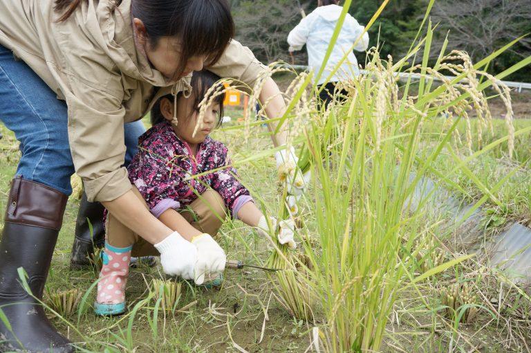 稲を刈る子ども